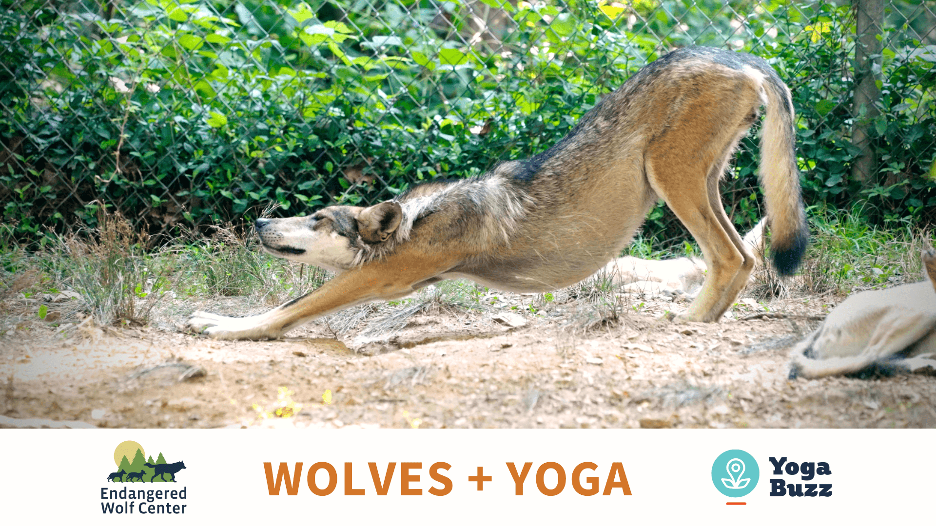 Wolf stretching - Wolves & Yoga Event